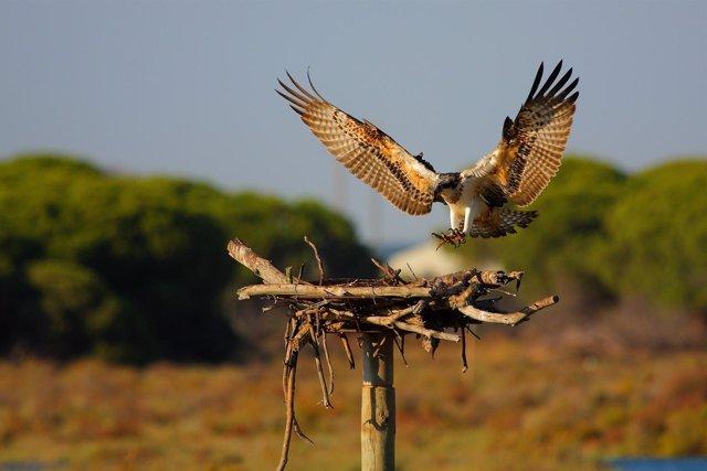 Águila pescadora reintroducida en Andalucía
