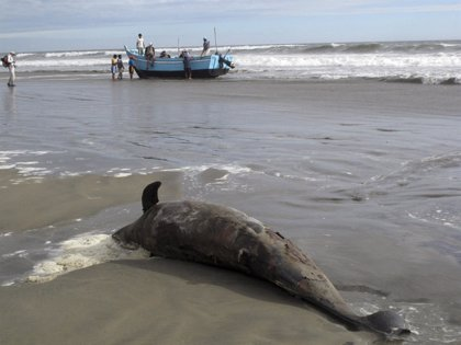 Los bañistas denuncian una matanza de delfines en la costa peruana