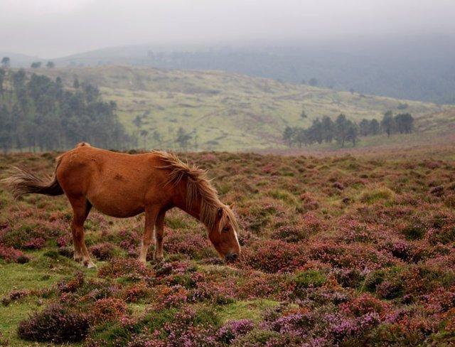 Un caballo gallego de monte