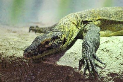 Faunia abre las puertas de la primera 'Guardería de dragones de Komodo'