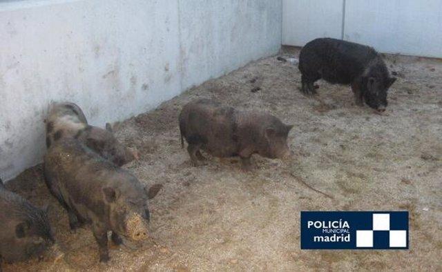 Cerdos vietnamitas capturados junto al Manzanares