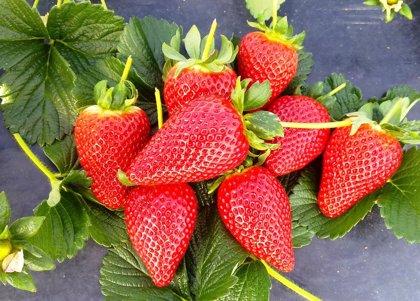 El consumo de fresas reduce los niveles de colesterol
