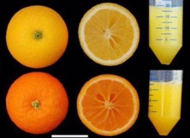 Obtienen naranjas más ricas en antioxidantes