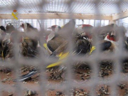 Imputado un hombre que se hizo pasar por otro para enviar muchas aves fringílidas a Barcelona