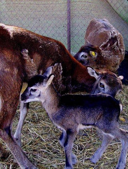 La población de muflones en Terra Natura Murcia aumenta con el nacimiento de nueve ejemplares