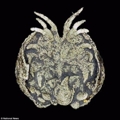 Fósil de crustáceo que cuidaba de sus crías