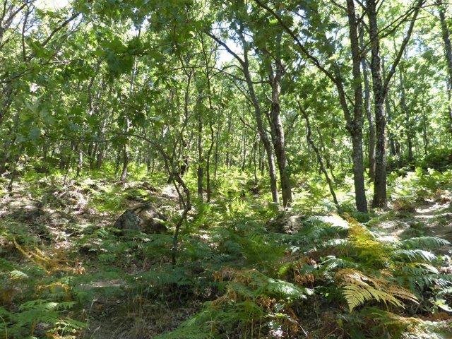 Bosque, árboles, madera, robles, helechos