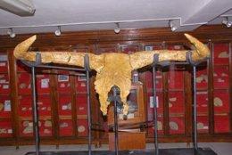 Cráneo de uro hallado en Túnez, antepasado de los toros actuales