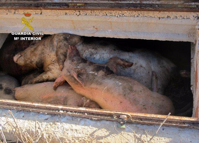 Imagen de los cerdos hallados muertos