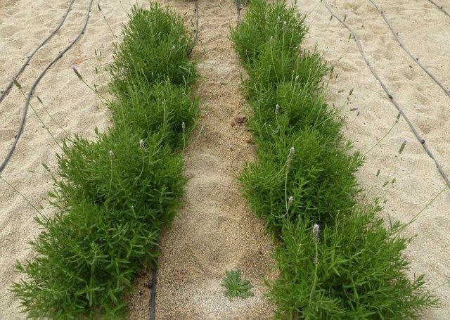 Resultado de imagen para cultivo de romero