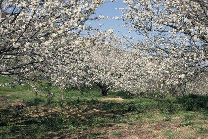 El Jerte espera unos 200.000 turistas para la floración de dos millones de cerezos