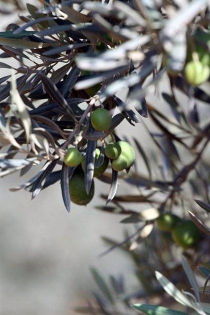 IU propone que la Mesa del Campo consensúe medidas en defensa de la uva pasa y el olivar en pendiente