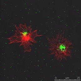 Células dendríticas afectadas por la invasión del virus del sida