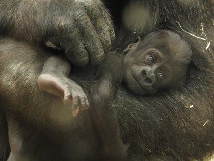 Los internautas bautizarán a la nueva cría de gorila del Zoo