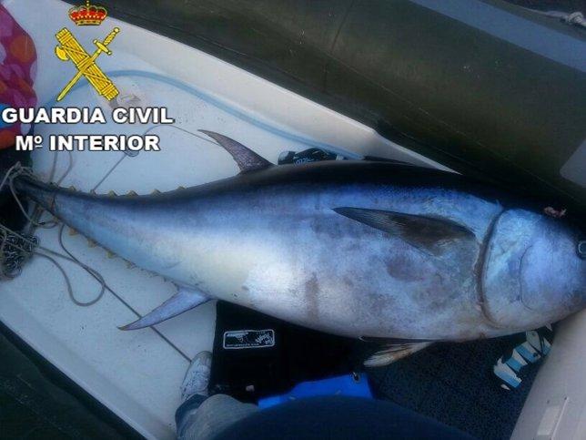 La Guardia Civil decomisa un atún rojo de 207 Kilogramos