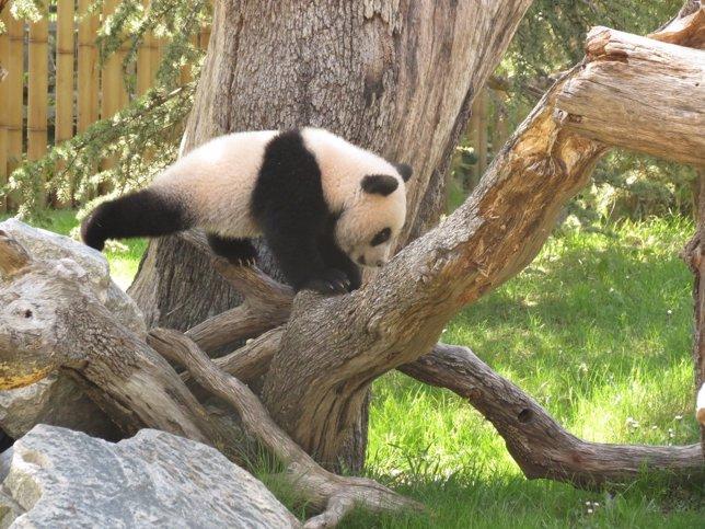 Oso panda en el zoo