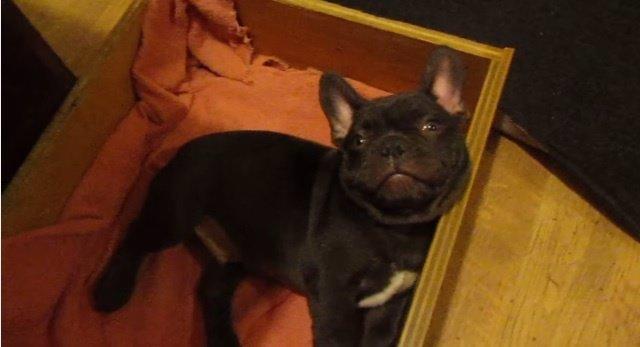 El Bulldog que no quiere irse a la cama