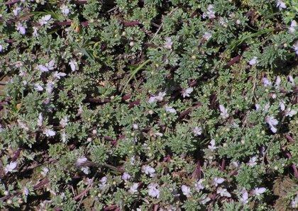 La Comunidad promueve la reintroducción de la planta silvestre protegida 'Teucrium Campanulatum' en Yecla