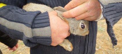 Nuevo sistema para solucionar la sobrepoblación de conejos