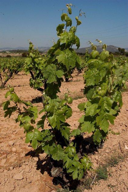 RuralCat ofrece un modelo agrometeorológico para calcular las fases del mildiu de la viña