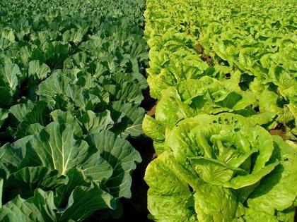 Averiguan cómo el 'E. Coli' coloniza las verduras frescas