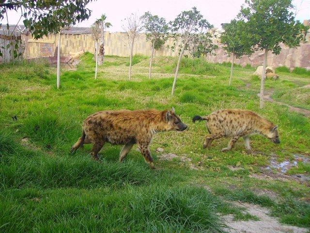 Hienas en Terra Natura de Murcia
