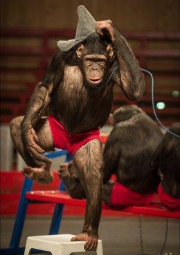 Circo alemán denunciado por trato degradante a chimpancés