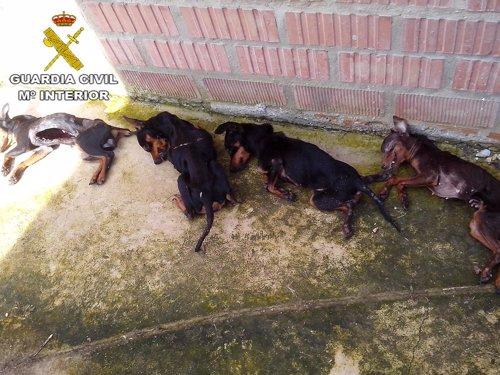 Perros fallecidos por falta de alimentación.