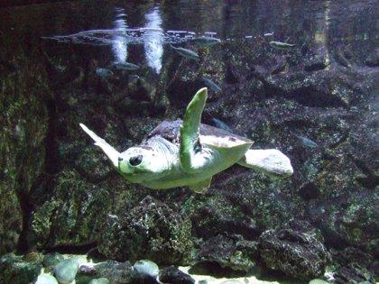 Devuelven al mar a la tortuga de los alumnos del IES Puerto del Rosario (Fuerteventura)
