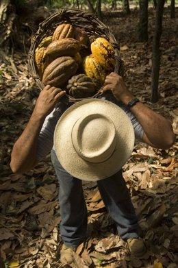 Solo el 1% del cacao que se consume a nivel mundial procede del comercio justo