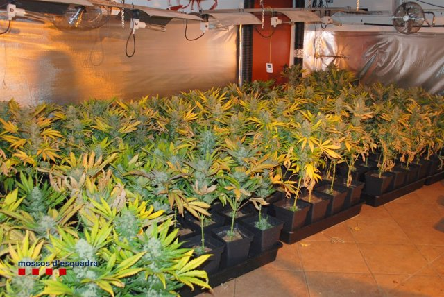 Plantación de marihuana en Sant Salvador de Guardiola