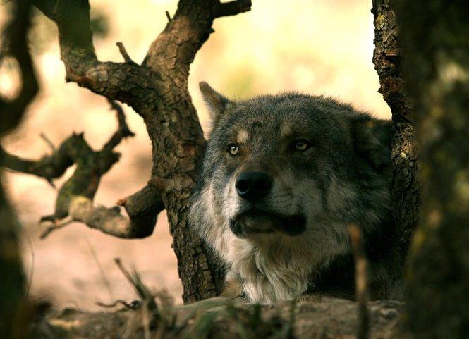 Lobo ibérico en Antequera