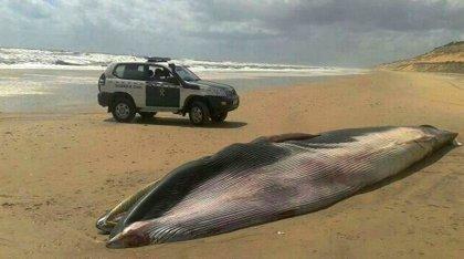 Hallan muerta una ballena varada en una playa de Matalascañas