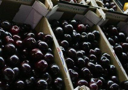 La producción de cereza en la Región se incrementa un diez por ciento con respecto a la campaña anterior