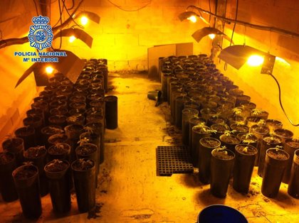 Desmantelan un laboratorio con 146 plantas de marihuana y detienen a cuatro personas en Benamocarra