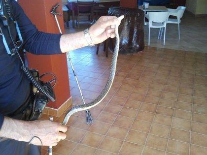 Recuperadas dos serpientes en Vigo