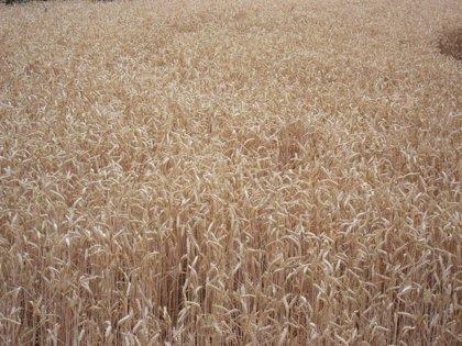La Alianza estima en un 30% la caída de la cosecha de cereal en CyL respecto a la campaña anterior