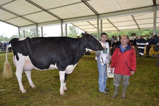 El concejal de Ganadería con una vaca