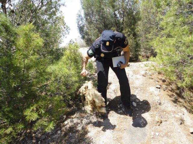 Una agente encuentra uno de los lazos con restos de animal