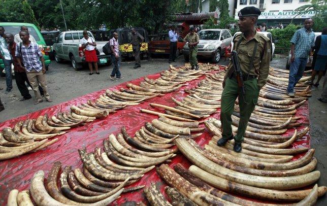 Incautados 300 colmillos de elefante en Kenia.