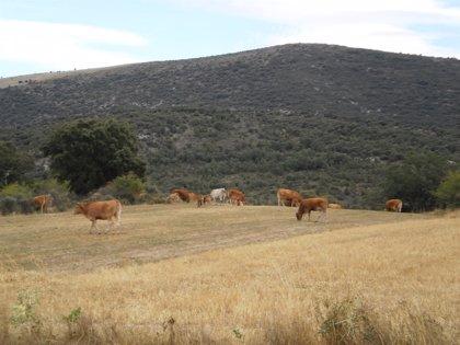 Los positivos en pruebas de tuberculosis bovina crecen este año en Galicia tras una prevalencia de 0,12% en 2013