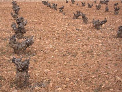 Agricultura abona 8,1 millones para reestructuración de viñedo
