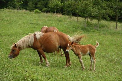 Libera! denuncia la presencia de caballos con cepos