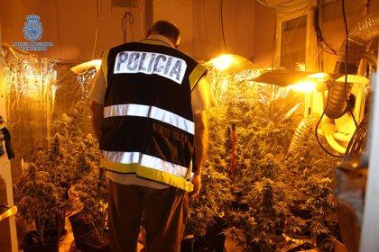 Desmantelada una plantación de marihuana en Badajoz