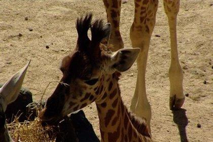 Ex jugadores de baloncesto apadrinan a dos jirafas del Zoo