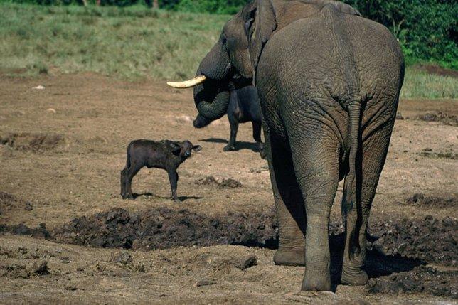Elefante con búfalo