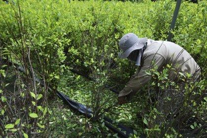 La siembra de coca se estabiliza en Colombia