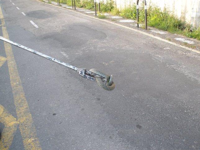 Serpiente recuperada en Vigo