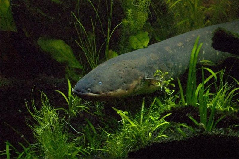 Resuelven el misterio de los peces eléctricos