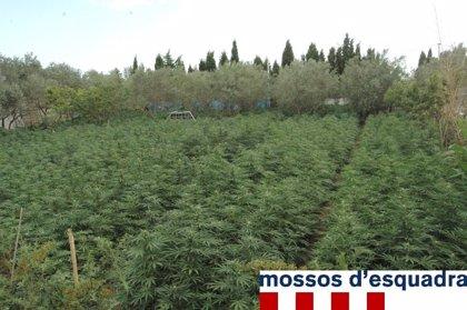 Dos detenidos por cultivar 7.000 plantas de marihuana en Hostalets de Llers